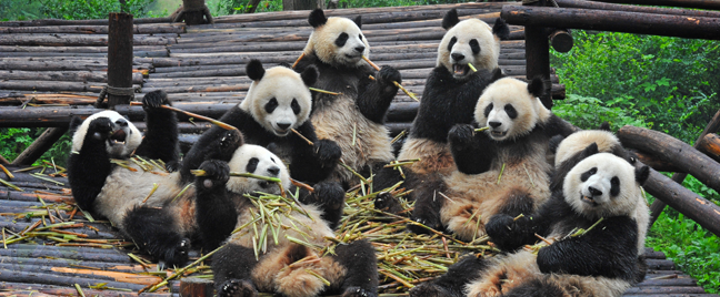 a-group-of-pandas-eating-bamboo-sitting-in-woods